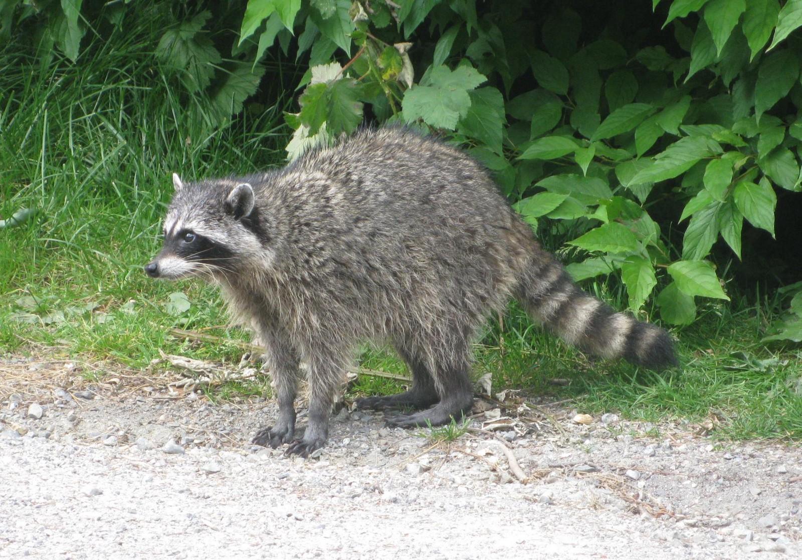 ODROID Magazine Figure 2 - A test image of a raccoon