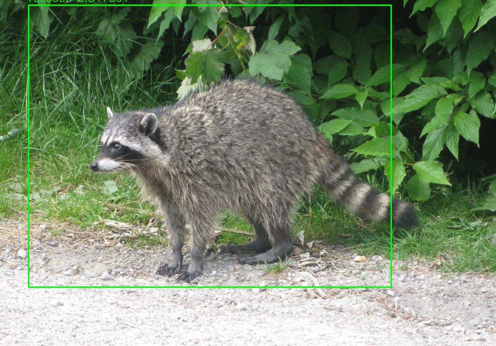 ODROID Magazine Figure 3 - YOLO has detected the image of the raccoon